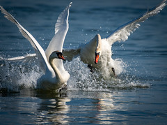 Hormones out to sea. (robert.lindholm87) Tags: nikon d500 swan mute water bird animal action wings splash lightroom sweden 200500 nikkor telephoto nature animals birds white blue ocean
