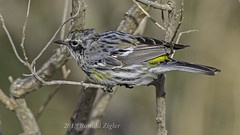 Yellow-rumped Warbler IMG_8104 (ronzigler) Tags: yellowrumped warbler wildlife avian nature bird birdwatcher canon 60d sigma 150600mm