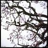 Sakura (James Mundie) Tags: shugenjitemple kamakura sakura cherryblossoms garden jamesmundie jamesgmundie profjasmundie jimmundie mundie copyright©jamesgmundieallrightsreserved copyrightprotected yashicaa tlr twinlensreflex