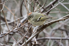 Ruby-crowned Kinglet (wandering tattler) Tags: bird songbird passerine kinglet ruby crown rubycrownedkinglet tiny migrant breeding wildlife newhampshire 2018