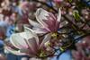 A savourer...(enjoy) (Larch) Tags: fleur flower tree arbre magnolia floraison inbloom printemps spring brieveté rose pink blanc white avril april branche branch feuille leaf ombre shadow matin morning