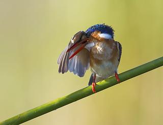 Malachite Kingfisher..