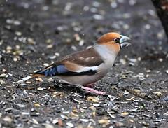 Kernbeißer,Hawfinch, 2018 UHS_1030 (uweschneider1) Tags: kernbeiser hawfinch bird wildlife