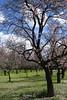 Almond Blossoms (koukat) Tags: madrid spring sundays sunny domingos primavera parque park garden alemdras flor enfloracion blossoms quinta de los molinos almond grove farm