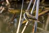 Pouillot véloce (gilbert.calatayud) Tags: commonchiffchaff passériformes phylloscopidés phylloscopuscollybita pouillotvéloce bird oiseau les aiguamolls catalogne espagne