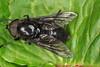 Diptère tabanide, Hybomitra aterrima (?) (chug14) Tags: unlimitedphotos animalia arthropoda hexapoda insecta macro insecte diptera brachycera tabanidae tabanusaterrimus hybomitraaterrima