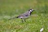 Ballerina bianca _005 (Rolando CRINITI) Tags: ballerinabianca uccelli uccello birds ornitologia arenzano natura