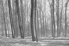 Today , 49 shades of grey , tomorrow another story... (fdlscrmn) Tags: forest park trees 7dwf bw snowstorm snow