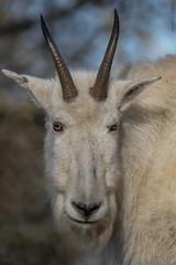 Schneeziege (marionB-fotografie) Tags: tier tiere animal animals schneeziege ziegen bergziege hornträger nikon d7100 tierparkberlin