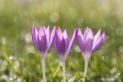 Shine a light on me (Mariannevanderwesten) Tags: krokus macro bokeh canon flower bloem spring voorjaar purple paars nature natuur light licht crocusses