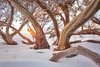 Amongst The Gum Trees || PERISHER VALLEY || SNOWY MOUNTAINS (rhyspope) Tags: australia aussie nsw new south wales snow snowy mountains alpine gum tree trees rhys pope rhyspope canon 5d mkii sun flare light golden burst bark pattern cold winter travel perisher thredbo selwyn ice sunrise sunset
