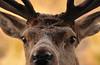 Red Deer Close-up (tonjoe1966) Tags: forestofgalloway reddeer scotland