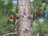 Pica-pau-rei (Campephilus robustus) - Robust Woodpecker casal (Carlos Grupilo) Tags: ef 300l 28 is usm serrinha alambari aves birds birdwatching brasil brazil carlos campephilus robustus grupilo 5d mkiv picapaurei pica pau rei riodejaneiro woodpecker