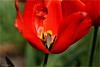 a Look Into the Heart (Hindrik S) Tags: tulip tulp heart flower blom bloem blume bulb macro plant pflantz green read red rot rood rouge nature natuur natoer natuer skepping schepping schöpfung creation sonyphotographing sony sonyalpha a57 α57 slta57 tamron tamronspaf90mmf28dimacro 90mm 2017 f28