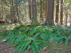 A gathering of ferns (walneylad) Tags: murdofrazerpark northvancouver britishcolumbia canada capilanoroad park parkland woods woodland forest urbanforest creek stream brook water trees ferns rocks log trail branches leaves green brown sun april spring afternoon nature scenery view