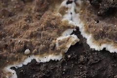 Porostereum spadiceum (Björn S...) Tags: porostereumspadiceum lophoraiaspadicea rusbraunerschichtpilz mushroom pilz fungo champignon hongo
