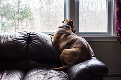 Neighborhood Watch (hcorleybarto) Tags: dog rescue amstaff rescuedog