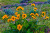 (Marc Crumpler (Ilikethenight)) Tags: landscape usa california bayarea sfbayarea contracostacounty antioch contraloma marccrumpler flowers wildflowers mulesear canon canon6d 6d 24105mmf4lisusm