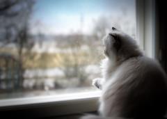 spring is near (Uniquva) Tags: roomwithaview smileonsaturday window cat