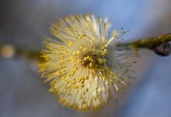 Spring flower. (agnieszka.a.morawska) Tags: nikon manualfocus manuallens macro dof oldlens helios44m helios wiosna spring flower