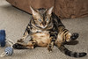 Tubby Willow (fantommst) Tags: lisaridings fantommst cat feline bengal marble rescue fatcat fat insulted funny auckland nz