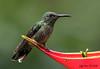 Scaly-breasted Hummingbird (Jmawnster) Tags: phaeochroacuvierii hummingbird scalybreasted costarica