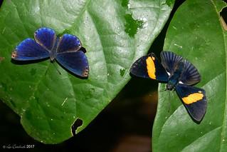 Metacharis regalis and Lyropteryx diadocis (both males)