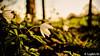 Debout la nature! (Lцdо\/іс) Tags: flower spring fleurs waimes april avril 2018 nature lцdоіс flickr belgique belgium eifel ardennen ardennes belgie beauty