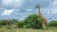 Tsavo East-4351 (ovg2012) Tags: giraffatippelskirchi kenia kenya masaigiraffe massaigiraffe tsavoeast tsavoostnationalpark