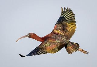 Very Glossy Ibis