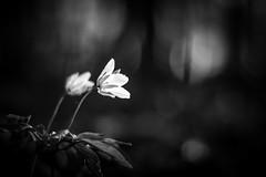 anemone nemorosa (GeoMatthis) Tags: flower black blackandwhite blackwhite bw gray white buschwindröschen bloom blossom tree trees forest woods wood wald holz nature spring light contrast blur bokeh macro