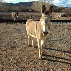 Clarkdale Burros (EllenJo) Tags: clarkdaleburros burro donkey railroad tracks clarkdaleaz arizona 2018 ellenjo