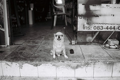 Guard Dog (D. R. Hill Photography) Tags: bangkok thailand asia southeastasia street streetphotography blackandwhite monochrome film analog grain dog pet animal contax contaxg1 g1 zeiss carlzeissplanar35mmf2 35mm planar 135 35mmfilm primelens fixedfocallength kentmere kentmere400 ilford