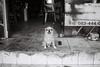 Guard Dog (D. R. Hill Photography) Tags: bangkok thailand asia southeastasia street streetphotography blackandwhite monochrome film analog grain dog pet animal contax contaxg1 g1 zeiss carlzeissplanar35mmf2 35mm planar 135 35mmfilm primelens fixedfocallength kentmere kentmere400 ilford