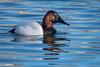 BlankCanvas (jmishefske) Tags: 2018 canvasback duck foxriver bird male drake waukesha wisconsin water