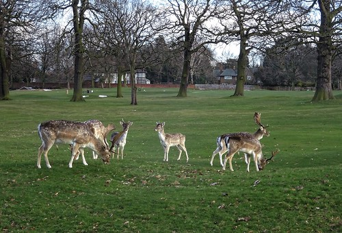 Deer at Wollaton Park