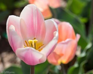 Myraid Garden Tulips