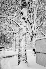 20180322-_RAG8880 (bigbuddy1988) Tags: snow photography art bw white nikon d800 usa nyc newyork new digital park contrast winter weather trees tree