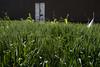 egy.lxr.021718_OMM8484 (ommphoto) Tags: bairat beitsalam colourstudy egypt egyptian governate greenfields growth habu lightstudy luxor maturation wheat ommphoto egy