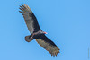 Vautour / Urubu à tête rouge (Cathartes aura) / CUBA (francisaubry) Tags: vautour urubu cuba rapace nikon nikkor nikonflickraward