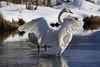We're BAACCCKKKK! (danielusescanon) Tags: pool eaglerivernaturecenter trumpeterswans cygnusbuccinator anseriformes anatidae wild pair flapping wings snow animal nature