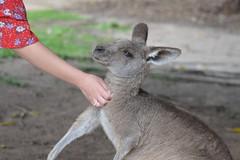 Eastern Grey Kangaroo (Macropus Giganteus) loves being scratched (Urban and Nature OZ) Tags: kangaroo easterngreykangaroo roo marsupial australia kanagroos macropusgiganteus