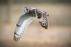 Short-eared owl (andrewsloan1964) Tags: shortearedowl