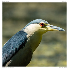 Héron Bihoreau   Black-crowned Night Heron   Nycticorax nycticorax (BerColly) Tags: france auvergne puydedome oiseau bird heronbihoreau blackcrownednightheron nycticoraxnycticorax portrait bokeh vol flight ciel sky ete summer allier riviere river bercolly google flickr