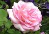Erinnere dich, o Seele, dieses Tags (amras_de) Tags: rose rosen ruža rosa ruže rozo roos arrosa ruusut rós rózsa rože rozes rozen roser róza trandafir vrtnica rossläktet gül blüte blume flor cvijet kvet blomst flower floro õis lore kukka fleur bláth virág blóm fiore flos žiedas zieds bloem blome kwiat floare ciuri flouer cvet blomma çiçek