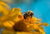 Butinage (martinmenard757) Tags: martin menard butinage fleurs taon jaune bleu spring printemp quebec