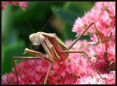 IMG_9587 The Bee's Knees 9-15-17 (arkansas traveler) Tags: prayingmantis insects bichos bugs flowers sedum nature naturewatcher natureartphotography zoom telephoto bokeh bokehlicious