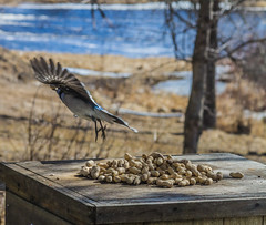 Take the peanuts and fly (Sharon's Shotz) Tags: cameraraw canada canon7d canoneos7d easterweekend lightroomclasssicprocessing longweekend ontario plevna blue jay bluejay avian bird peanuts sigma105mm cyanocittacristata