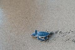 Instinct (_Kyriakos) Tags: beach tortoise newborn animal nature cyprus sea sand waves lara paphos summer hatch egg