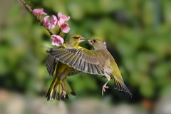 love is in the air (simo m.) Tags: greenfinch birds active flying dancing couple nature
